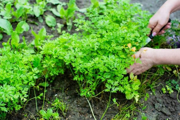 딜 수집 여성 농부가 정원에서 딜 잎 수집품을 건네줍니다.