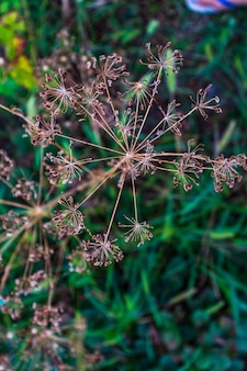 Цветок укропа. садовая трава anethum graveolens. зонтики укропа, растущие в саду. закройте ароматный укроп, семена фенхеля, спелый цветок укропа. селективный фокус, размытый