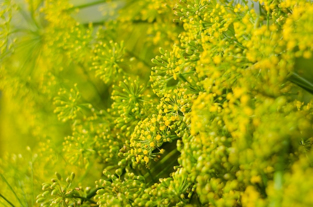 Dill flower. soft selective focus, blur. close up of fragrant dill fennel , ripe dill head.