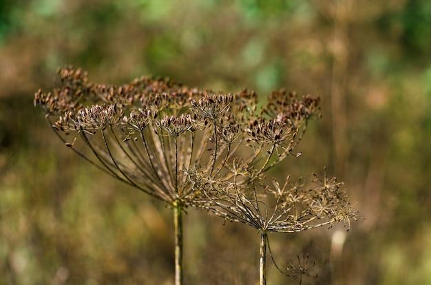 Семена укропа в саду