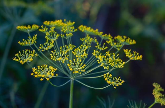 Dill umbrella, n natural seasoning. natural floral background