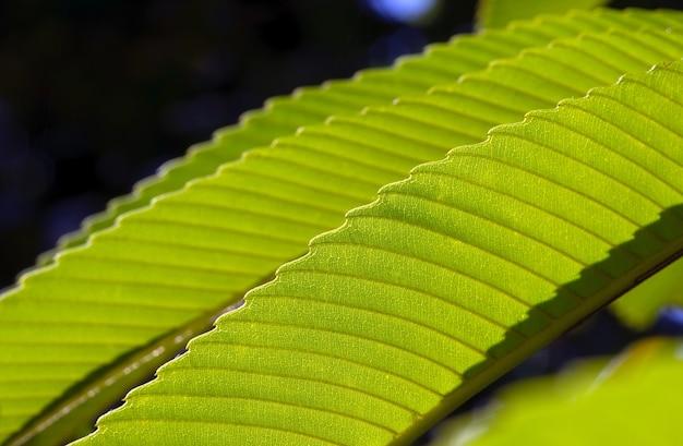 ディレニアインディカ緑の葉がクローズアップ