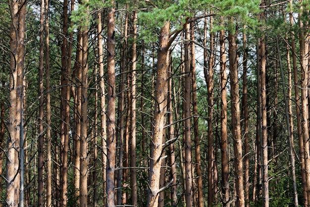 Тусклая погода в лесу, высокие сосны с зелеными иголками