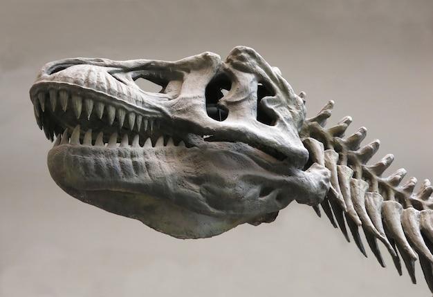 Dinosaur skeleton on the grey background