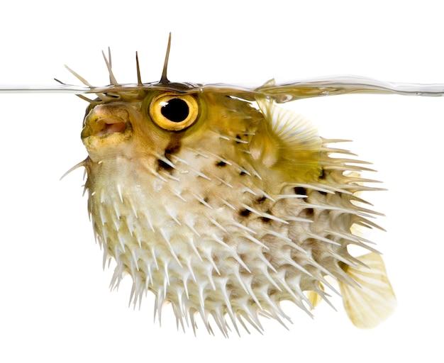 長棘ヤマアラシはまたとげのあるふぐ-分離された白のdiodon holocanthus