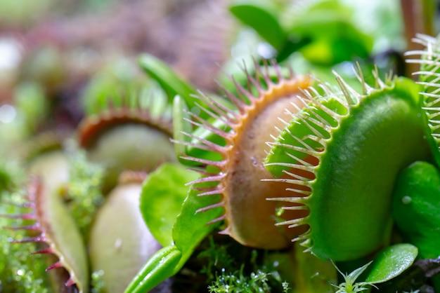 Плотоядное хищное растение венеры-мухоловки - dionaea muscipula.