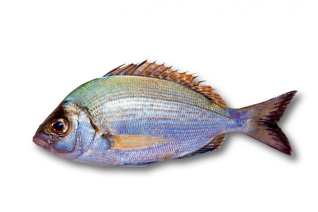 Diplodus sargus white sea bream isolated
