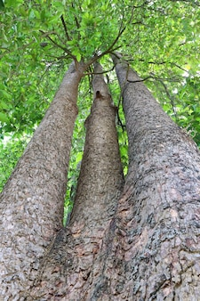Dipterocapus tree, big tree in deep forest