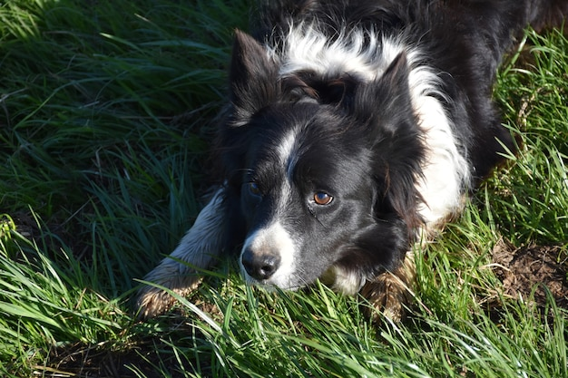 Direct look into the face of a border collie crouched in the grass.