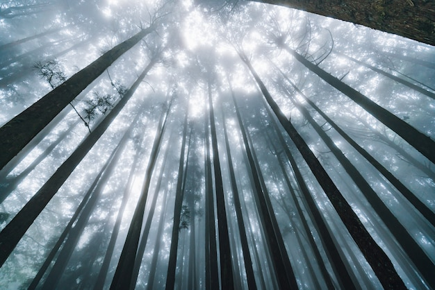 Direct sunlight through japanese cedar trees with fog in the forest in alishan national forest recreation area.