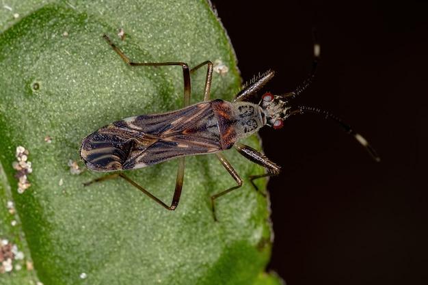 Rhyparochrominae 아과의 흙색 종자벌레
