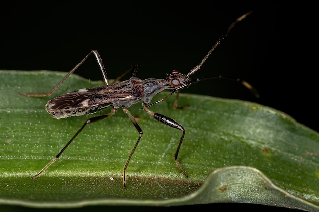 Dirt-colored seed bug of the subfamily rhyparochrominae