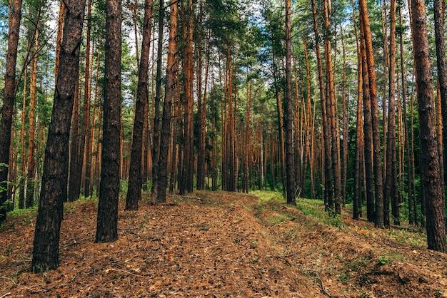 비포장 도로는 숲에서 소나무 바늘로 덮여 있습니다.