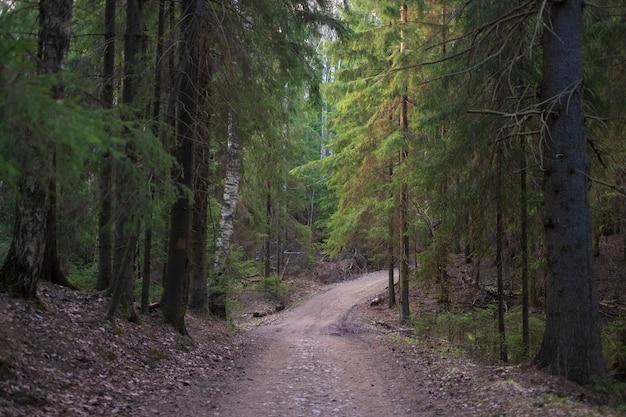 Грунтовая дорога для прогулок в красивом вечернем хвойном лесу