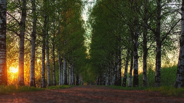 Dirt road at sunset with birch trees growing along the roadside natural light