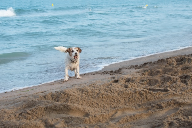 Dirty jack russell dog at beach shore playing with sand on summer