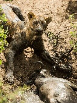 獲物の隣に横たわる汚い雌ライオン、セレンゲティ、タンザニア、アフリカ