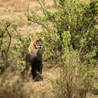汚れた雌ライオンが座っている、セレンゲティ、タンザニア、アフリカ