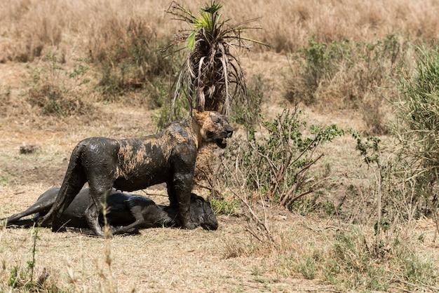獲物の隣に立っている汚い雌ライオン、セレンゲティ、タンザニア、アフリカ