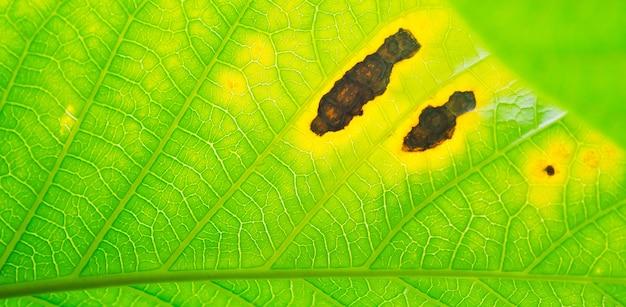 Disease green leaves fungus