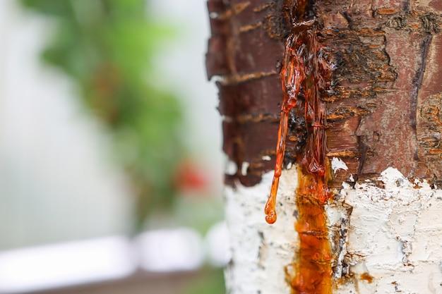 감염 바이러스의 결과로 형성된 식물의 줄기에 있는 정원수 고무나무의 질병