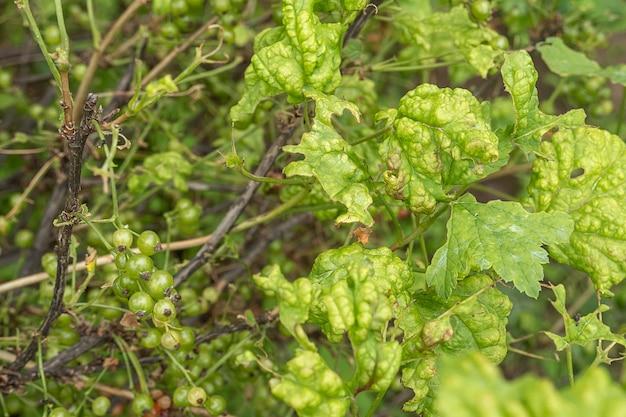 Болезни и вредители ягодных кустарников. галловая тля на смородине. поврежденные листья на красной смородине.