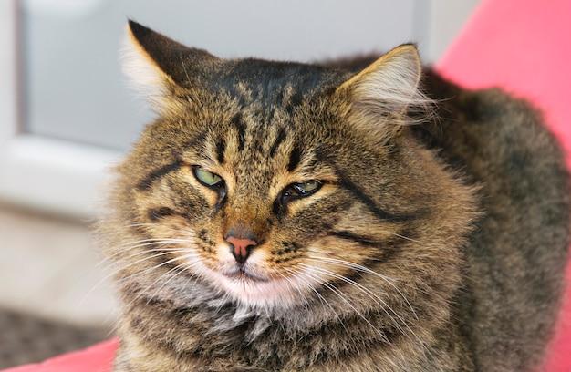 動物の病気。目の問題がある原因のない猫