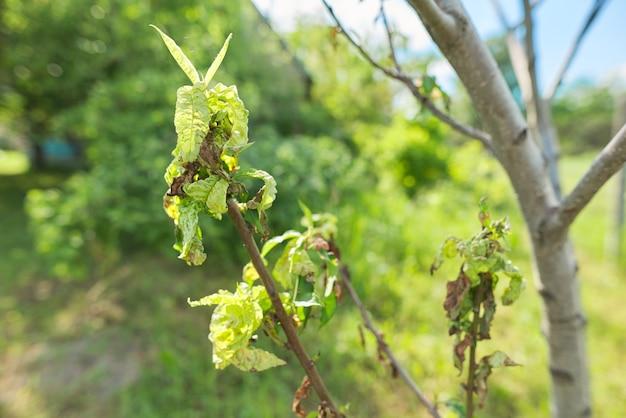 桃の葉のクローズアップ、春の季節、庭の病気。