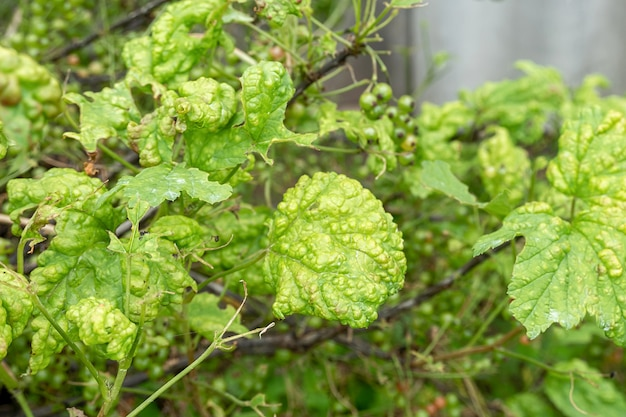 Diseases and pests of berry bushes . gall aphid on currants. damaged leaves on a red currant.