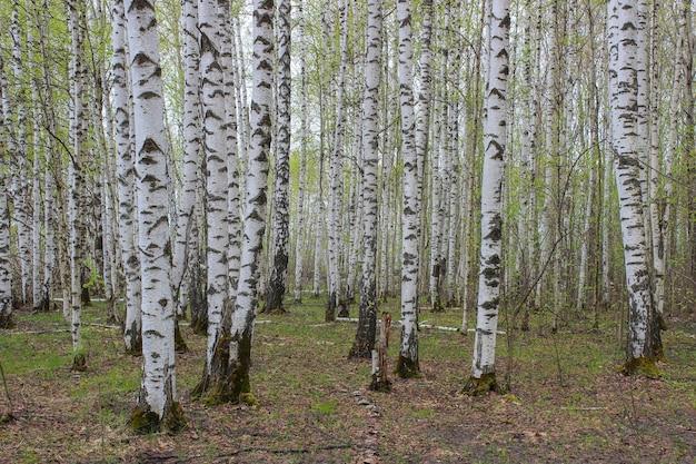 春先に白樺の木立を溶かす