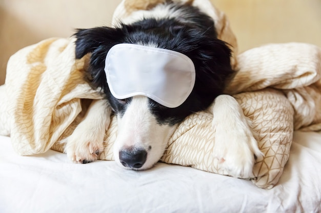 Do not disturb me let me sleep. border collie with eye mask lay on pillow blanket in bed.