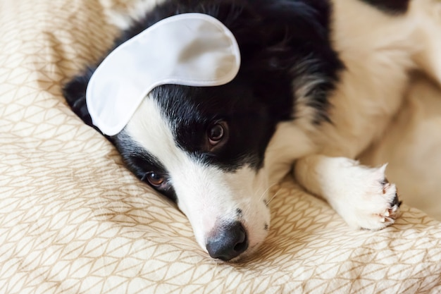 Do not disturb me let me sleep. funny puppy border collie with sleeping eye mask lay on pillow blanket in bed little dog at home lying and sleeping. rest good night insomnia siesta relaxation concept