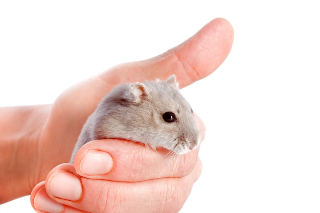 Djungarian hamster on male hand isolated