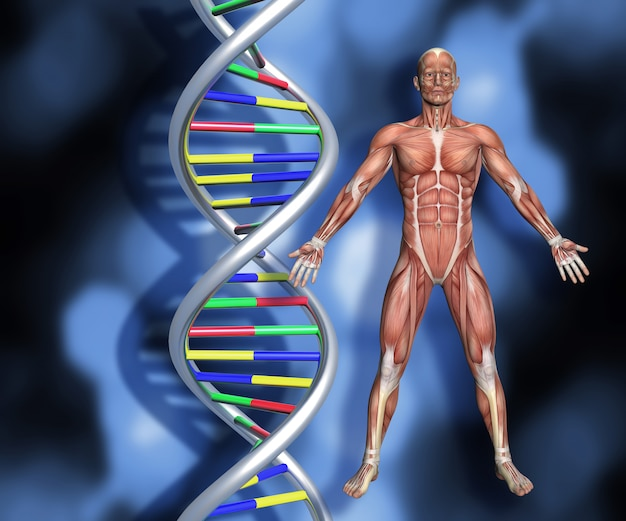 Dna strands with 3d male figure with muscle map