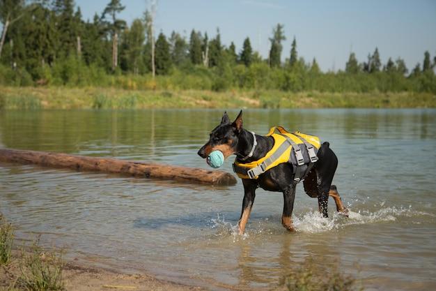 湖でボールとライフジャケットのドーベルマン犬