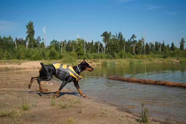 湖の上のボールと救命胴衣のドーベルマン犬