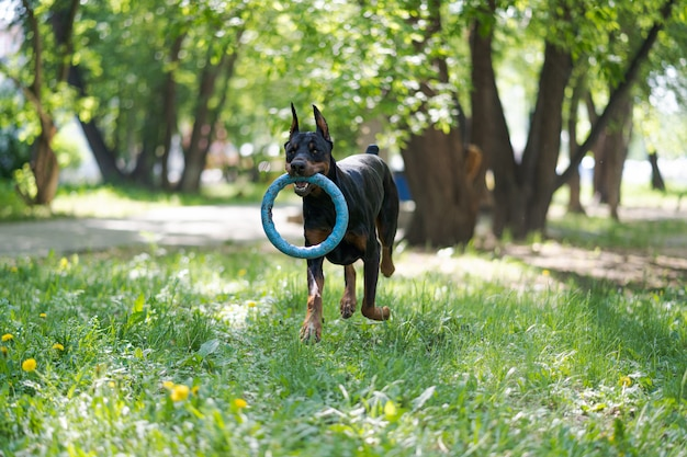 Doberman dog on nature. active pet playing in the park with toy