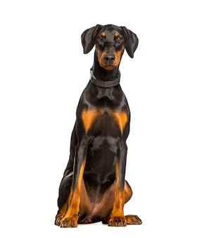 Doberman dog sitting against white wall