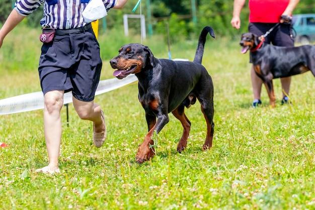 散歩のために公園で飼い主と一緒にドーベルマン犬