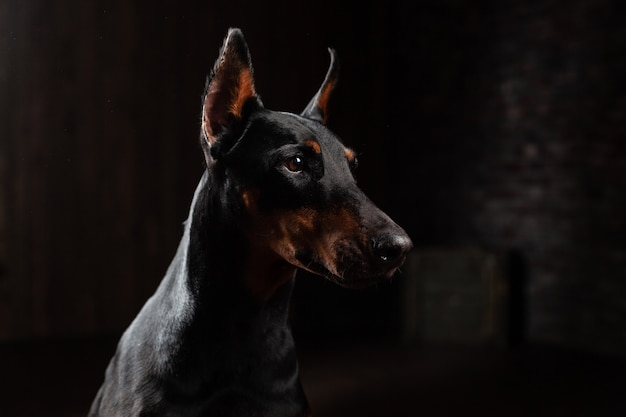 Doberman pinscher against black background front view