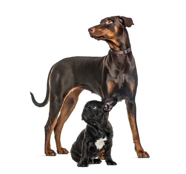 Doberman pinscher, black french bulldog sitting, in front of white