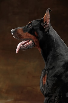 Doberman pinscher, cane emotivo divertente in studio