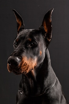 Doberman pinscher portrait on black.