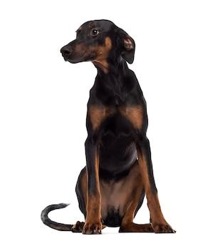 ドーベルマン犬の子犬に座ってよそ見