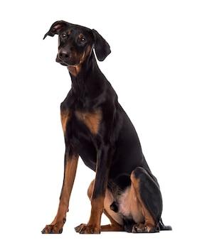 ドーベルマン犬の子犬に座って、白で隔離