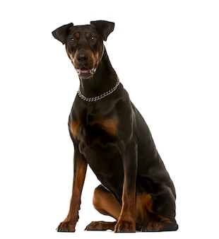 Doberman sitting in front of a white wall