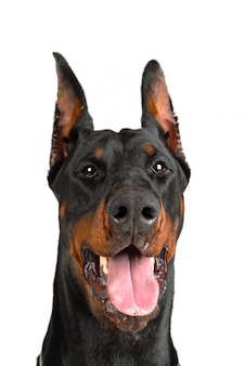 Doberman with tongue out of the mouth