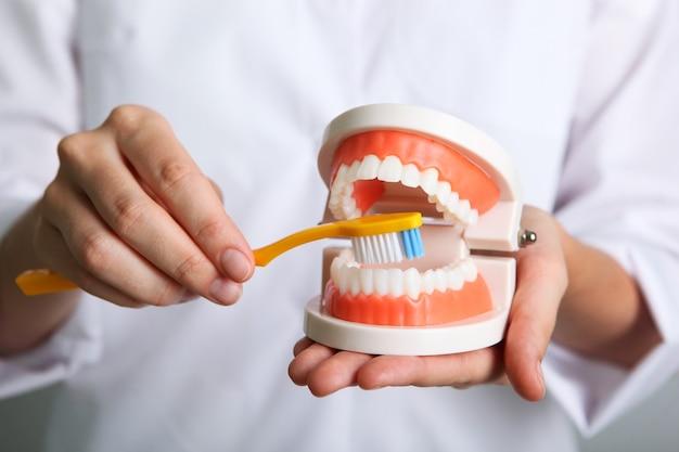 의사 치과 의사는 그의 손에 치아 모델을 보여줍니다