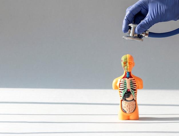 Доктор рука крупным планом слушает со стетоскопом модель человеческого тела без кожи с внутренними органами внутри ...