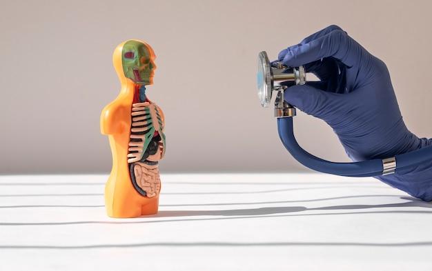 Доктор рука крупным планом, слушая со стетоскопом, модель человеческого тела без кожи с внутренними органами